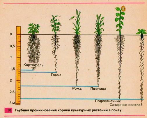 Как сделать капельный полив своими руками   Глубина корней культурных растений