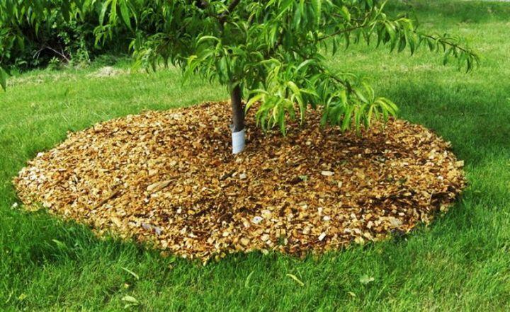 Утепление приствольного круга | Как утеплить молодые плодовые деревья на зиму