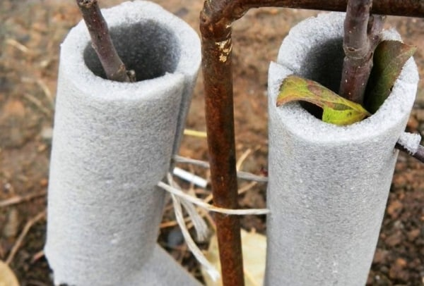 Как утеплить молодые яблони на зиму