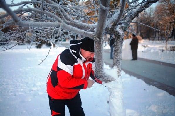 Утепление ствола дерева | Как утеплить молодые плодовые деревья на зиму