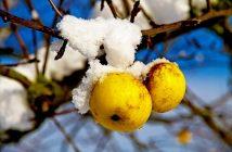 Как утеплить молодые плодовые деревья на зиму: яблоню, персик и т.д.