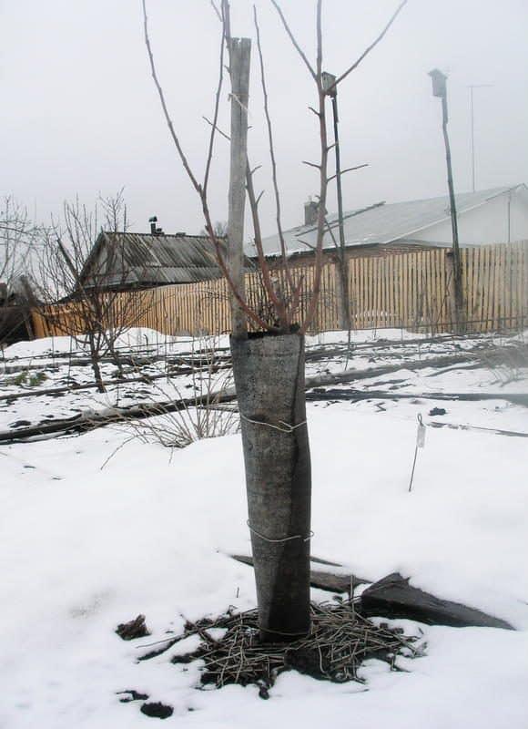 Защита деревьев от вредителей | Как утеплить молодые плодовые деревья на зиму