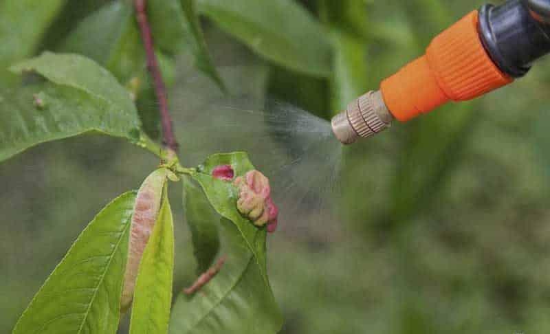 Как утеплить персик на зиму
